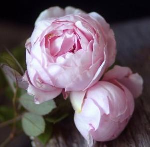 Jolies pivoines roses
