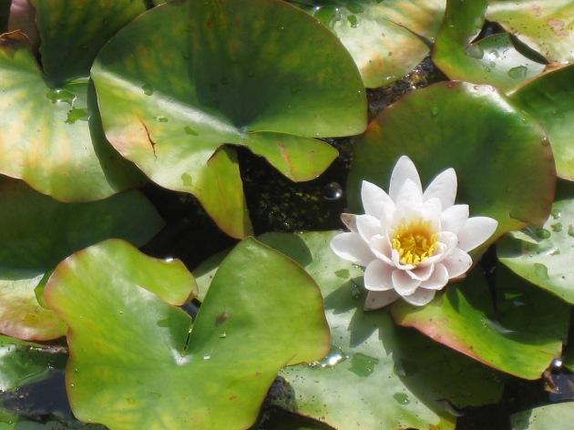 Nénuphar : fleur blanche